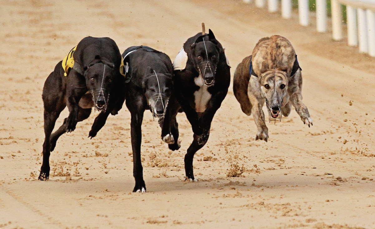 ireland greyhound racing